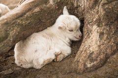 Biały koźli dziecko fryzuje w górę chować pod drzewem Fotografia Royalty Free