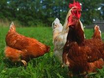 Biały kogut i brown kurczak na łące Zdjęcia Stock