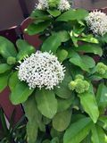 Biały kolca kwiat na drzewie, zamyka up fotografia stock