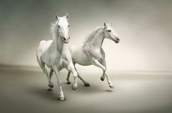 Biały konie Zdjęcia Royalty Free