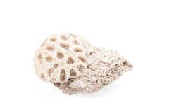 Biały koral odizolowywający na białym tle Zdjęcia Stock