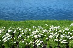 Biały kosmosu kwiat w tropikalnym ogródzie zdjęcia stock