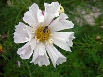Biały kosmosu kwiat z osą Obrazy Stock
