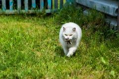 Biały kot łapał ptaka, myśliwy z zdobyczem fotografia royalty free