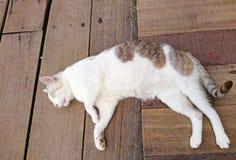 Biały kot śpi na drewnianej podłoga Fotografia Stock