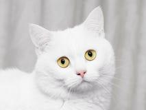 biały kot Obrazy Stock