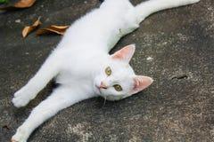 Biały kot gnuśny Zdjęcie Stock