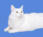 Biały kot jest przyglądający przedni Zdjęcia Stock