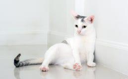 Biały kot jest przyglądający przedni Zdjęcia Royalty Free