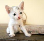 Biały kot jest przyglądający przedni Obraz Royalty Free