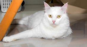 Biały kot jest przyglądający przedni Obraz Stock