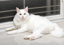 Biały kot jest przyglądający przedni Fotografia Royalty Free