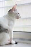 Biały kot jest siedzący i patrzejący naprzód Zdjęcie Stock