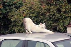 Biały kot na samochodzie zdjęcie royalty free