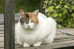 Biały kot na wiejskim drewnianym tarasie zdjęcie stock