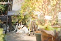 Biały kot patrzeje kamerę Zdjęcia Royalty Free