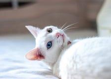 Biały kot próbuje spać, różni barwioni oczy, różowi ucho i nos, Fotografia Stock