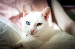 Biały kot próbuje spać, różni barwioni oczy, różowi ucho i nos, Obrazy Stock