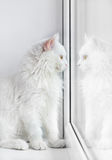 Biały kot przyglądający out okno Obrazy Stock