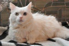 Biały kot, różni oczy Obrazy Royalty Free