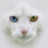 Biały kot, różni oczy Zdjęcie Royalty Free