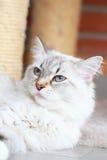 Biały kot siberian traken, neva maskaradowa wersja Zdjęcia Stock