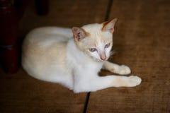 Biały kot siedzi na starej drewnianej podłoga zdjęcia royalty free