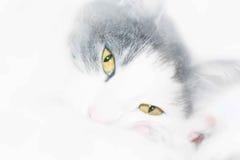 Biały kot z żółtymi oczami zdjęcia stock