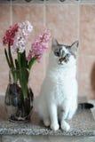 Biały kot z niebieskimi oczami i menchiami kwitnie hiacynt w szklanej wazie Czuły różowy tło 9 trybowi stubarwni obrazki ustawiaj Obrazy Royalty Free