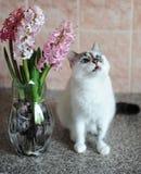 Biały kot z niebieskimi oczami i menchiami kwitnie hiacynt w szklanej wazie Czuły różowy tło 9 trybowi stubarwni obrazki ustawiaj Zdjęcie Royalty Free