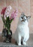 Biały kot z niebieskimi oczami i menchiami kwitnie hiacynt w szklanej wazie Czuły różowy tło 9 trybowi stubarwni obrazki ustawiaj Zdjęcia Stock