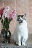 Biały kot z niebieskimi oczami i menchiami kwitnie hiacynt w szklanej wazie Czuły różowy tło 9 trybowi stubarwni obrazki ustawiaj Zdjęcia Royalty Free