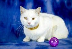 Biały kot z pchła kołnierzem i kot bawimy się fotografia stock
