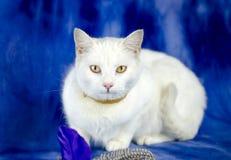 Biały kot z pchła kołnierzem i kot bawimy się fotografia royalty free