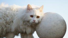Biały kot z tynk piłką Fotografia Royalty Free