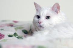 Biały kota dopatrywanie obrazy stock