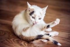 Biały kota liźnięcie jego łapa obraz stock
