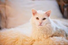 Biały kota lying on the beach na łóżku Gęsty, puszysty i znacząco, obraz royalty free