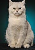 Biały kota obsiadanie na błękitnym tle Obraz Stock