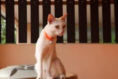 Biały kota obsiadanie na zbiorniku wodnym na pomarańczowym koloru tle i ciemny brąz my fechtujemy się fotografia stock