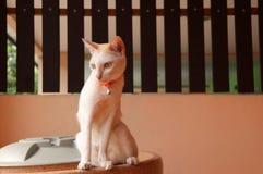 Biały kota obsiadanie na zbiorniku wodnym na pomarańczowym koloru tle i ciemny brąz my fechtujemy się zdjęcia stock