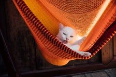 Biały kota odpoczynek wygrzewa się w pomarańczowym hamaku Kotów obmycia Fotografia Stock