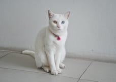 Biały kota oka koloru błękita i koloru żółtego heterochromia zdjęcia royalty free
