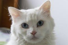 Biały kota ` s Sprostać zakończenie Zdjęcia Royalty Free