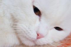 Biały kota zakończenie up Obraz Royalty Free