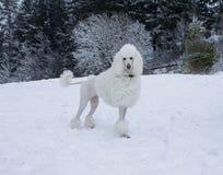 Biały Królewski pudla psa odprowadzenie w śniegu w zima lesie Zdjęcie Stock