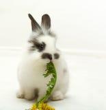 biały królik Fotografia Stock