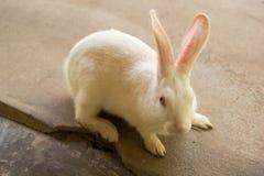 Biały królik Z Szczęśliwym uczuciem obrazy royalty free