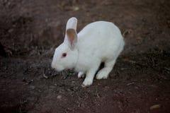 Biały królika przespacerowanie fotografia stock