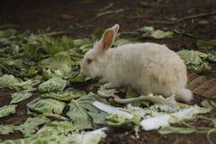 Biały królika przespacerowanie obrazy royalty free
